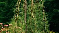 Převislá varieta čimišníku stromového s rozvíjejícími se listy