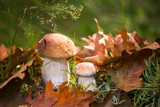 Hříbky, dary štědrého lesa