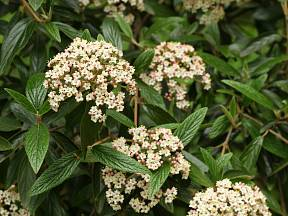 Kalina vrásčitolistá (Viburnum rhytidophyllum)