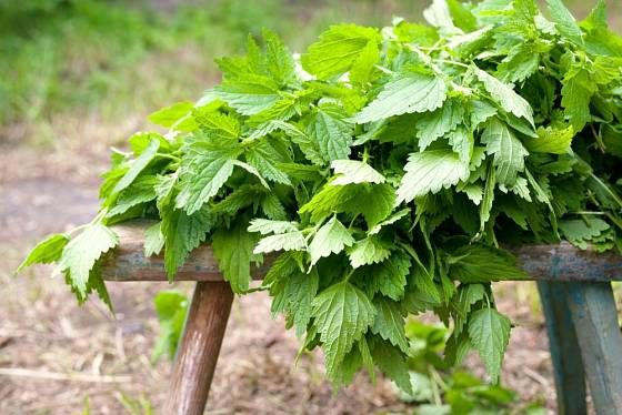 Kopřiva, zelený mulč plný dusíku a dalších základních živin i mikroprvků