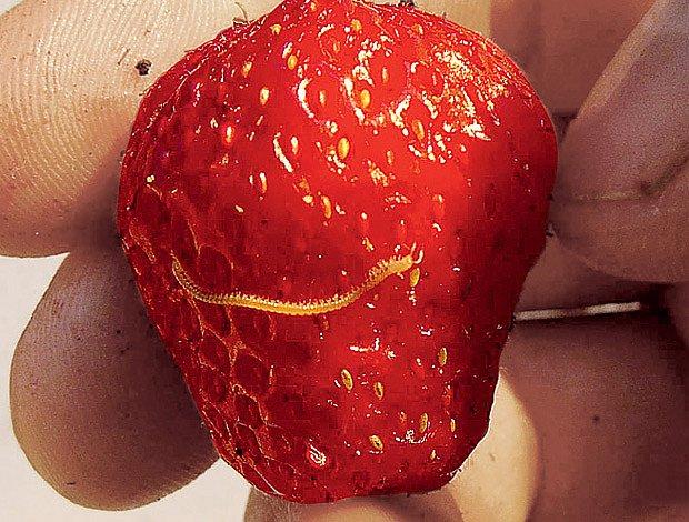 mnohonožky jahodám neškodí