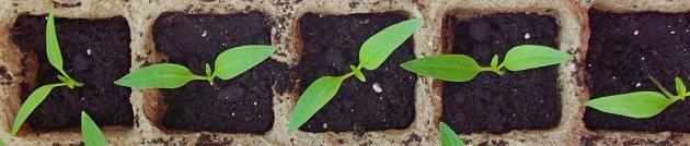 semenáčky papriky