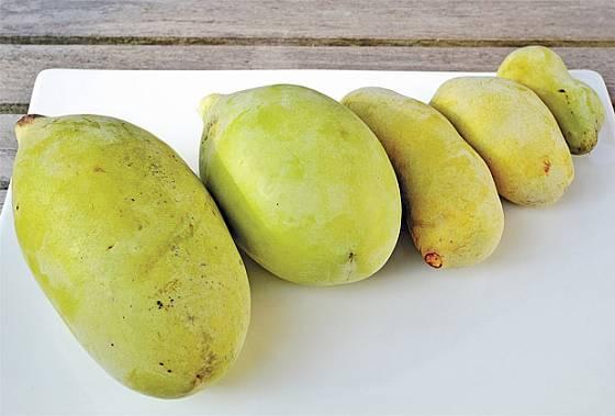 plod muďoulu trojlaločného (Asimina triloba)