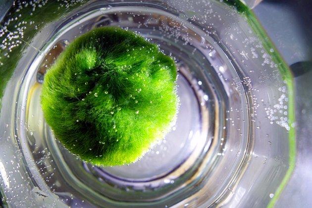 Řasokoule zelená známá též jako marimo.
