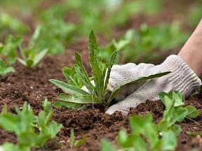 Ruční vytrhávání plevele je zdlouhavé, ale účinné.