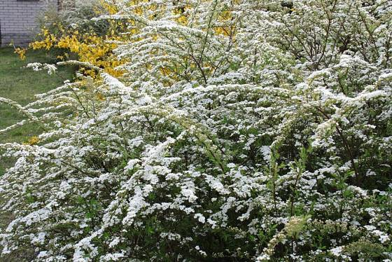 Tavolník popelavý (Spiraea cinerea)