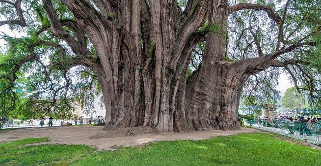 tisovec mexický, nejširší strom světa