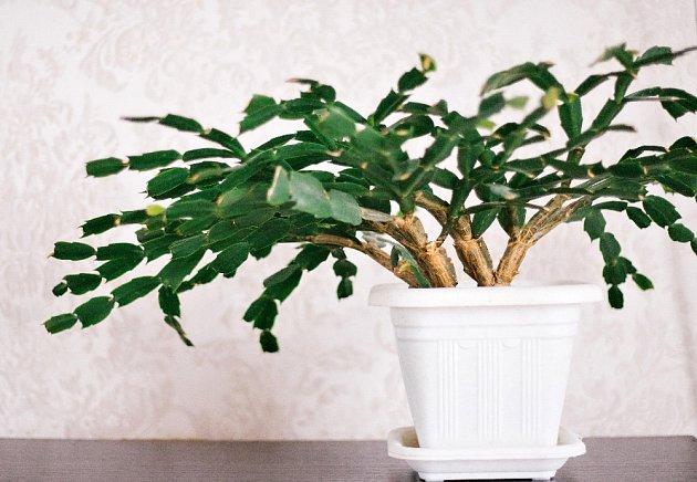 Vánoční kaktus můžeme pěstovat více let.