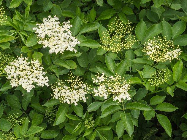 Květoucí bez černý (Sambucus nigra).