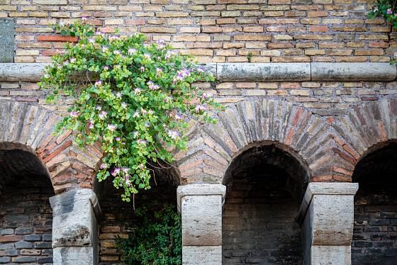 Kaparovník trnitý na starověké zdi v Římě.