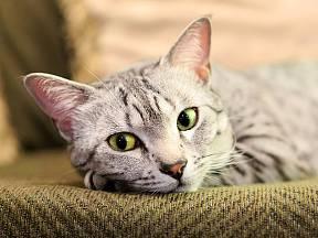 Mandlové oči kočky mau mají barvu angreštu