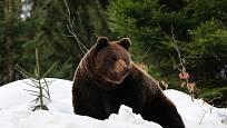 Medvědy hnědé můžete i v zimních měsících pozorovat ve výběhu v Bavorském lese.