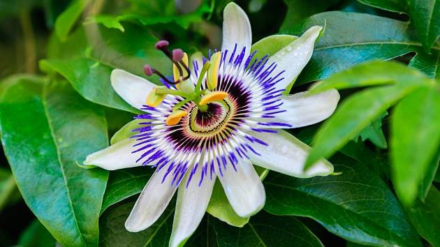 Mučenka modrá - květ