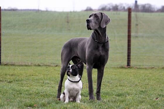 Německá doga je elegantní, půvabné a vlídné plemeno.