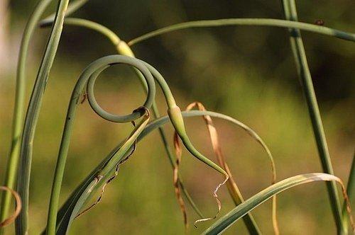 Doporučuje se květní stvoly z česneku co nejdříve odstraňovat, aby nedocházelo ke snížení výnosů.