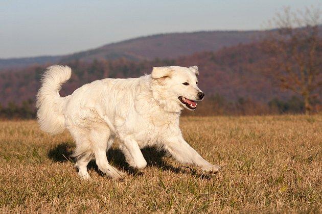 Slovenský čuvač patří ke skupině bílých horských a pasteveckých psů.
