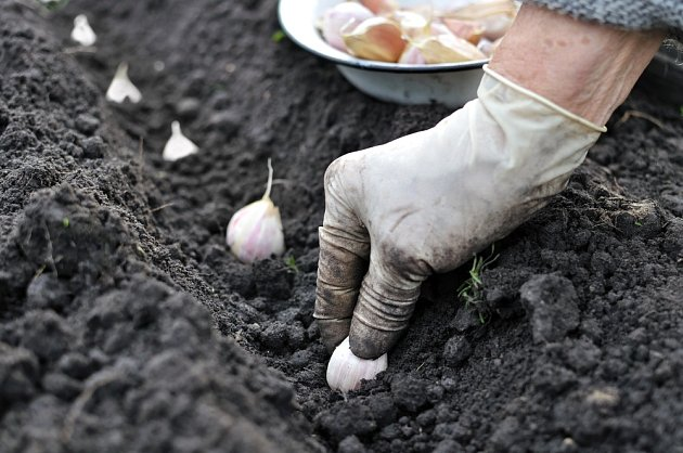 Zkušení pěstitelé vědí, na kterou odrůdu vsadit.