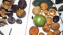 koškozené plody ořešáku