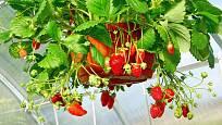 Závěsné květináče jsou vhodné jak pro pěstování celoročně plodících jahod, tak pro jahody měsíční.