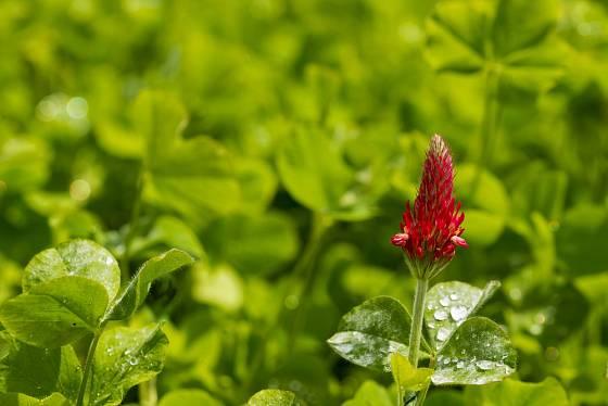 Jetel nachový (Trifolium incarnatum), známý též jako jetel inkarnát.