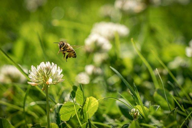 Jetel si včely najdou i v trávníku