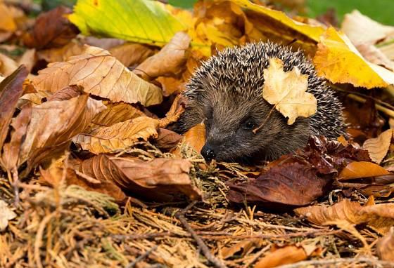 Na bezpečném zimním úkrytu závisí život ježka