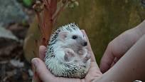 ježek jako domácí mazlíček