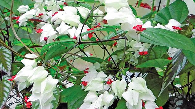 blahokeř Thomsonové (Clerodendrum thomasoniae)