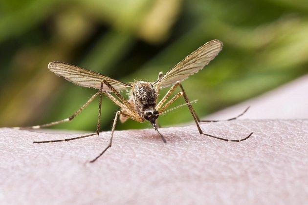 Komáří samičky potřebují naši krev