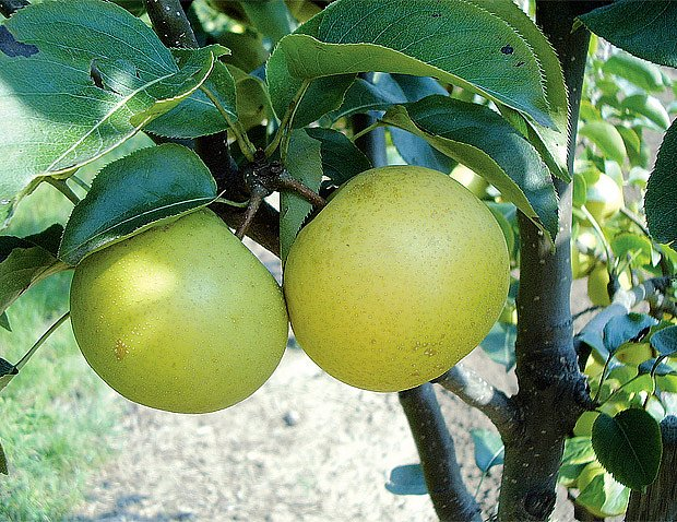 Nashi se pěstuje v řadě odrůd