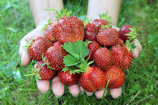 Abyste si zajistili dobrou úrodu, vysaďte jahody už v srpnu