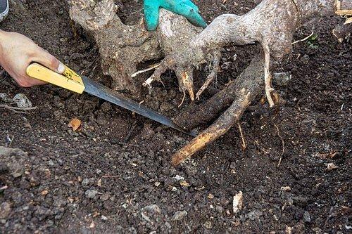 Pilou opatrně odstraňte tu část kořene, která je problémová a vyčnívá ze země.