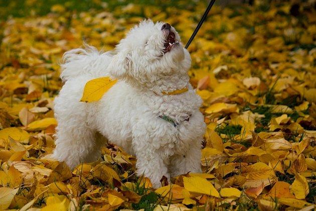 Boloňský psík s nadýchanou bílou srstí je prostě ideálním společníkem