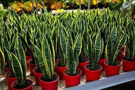 Tenury jsou snadno pěstovatelné a dobře dostupné rostliny.