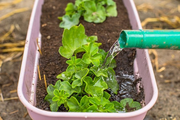 Hnojivo z droždí prospívá muškátům.