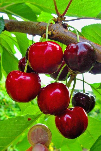 pozdní odrůda třešně Tamara