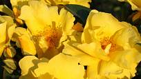 Růže odrůdy Lemon Fizz