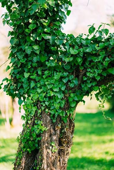 Břečťan staré torzo stromu dokonale ozelení