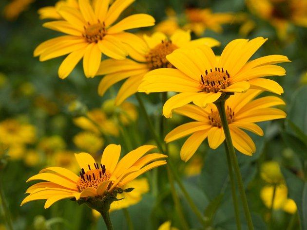 Květy janeby září jako sluníčka