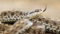 Zmije obecná je nejrozšířenější suchozemský had na světě.