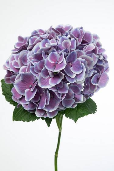 Hortenzie velikolistá (hydrangea mocrophylla) je atraktivní i jako řezaná květina.