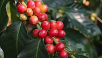plody kávovníku