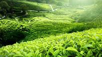 Malajsie, zelený čaj
