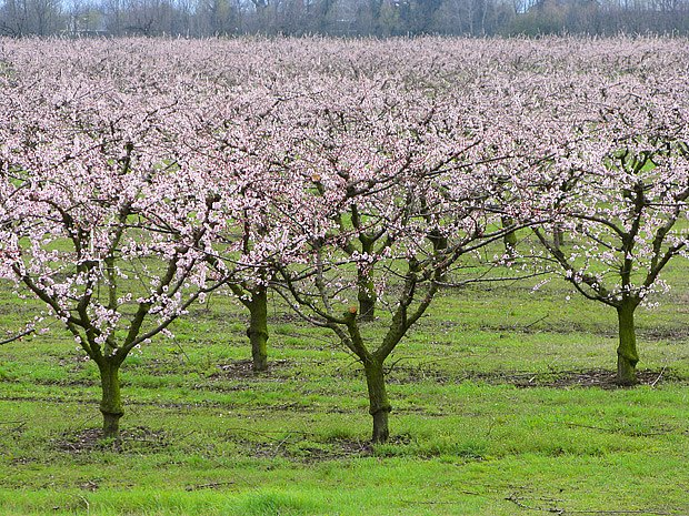 meruňkový sad na jaře