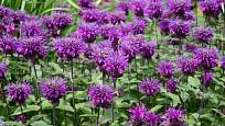 zavinutka podvojná (Monarda didyma), odrůda Balmy Purple