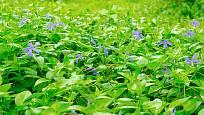 Půdopokryvný barvínek nahradí trávník ve stínu