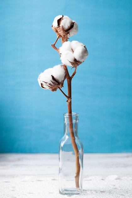 puklé tobolky bavlníku připomínají sníh