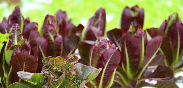 Čekanku radicchio můžete pěstovat v řadě odrůd rozličných tvarů