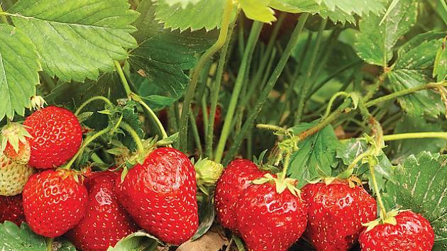 jahody, zdravá pochoutka ze zahrady