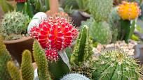 Množením semeny lze levně získat mnoho kaktusů
